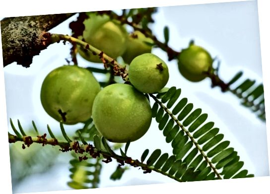 Indian Gooseberry - Extract de Emblica