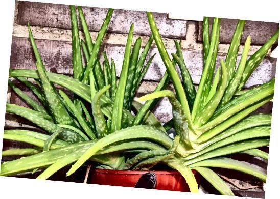 Aloe vera nabízí velké množství využití - vše z jedné rostliny.