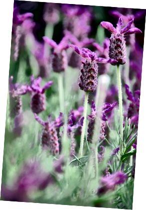 Levandule je díky své všestrannosti a mnoha výhodám jednou z nejlepších rostlin, které má doma.
