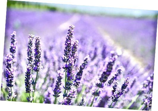 सुखदायक लैवेंडर फूल