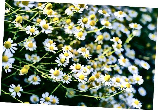कैमोमाइल फूलों को शांत करना