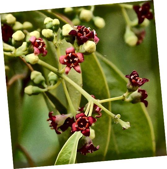 Λευκό ή Ανατολικό Ινδικό σανδαλόξυλο ή Chandan (Santalum άλμπουμ) παράγει σανταλόξυλο αιθέριο έλαιο.