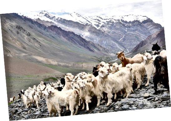 بز کشمیر ، هیمالیا ، هیماچال پرادش ، هند