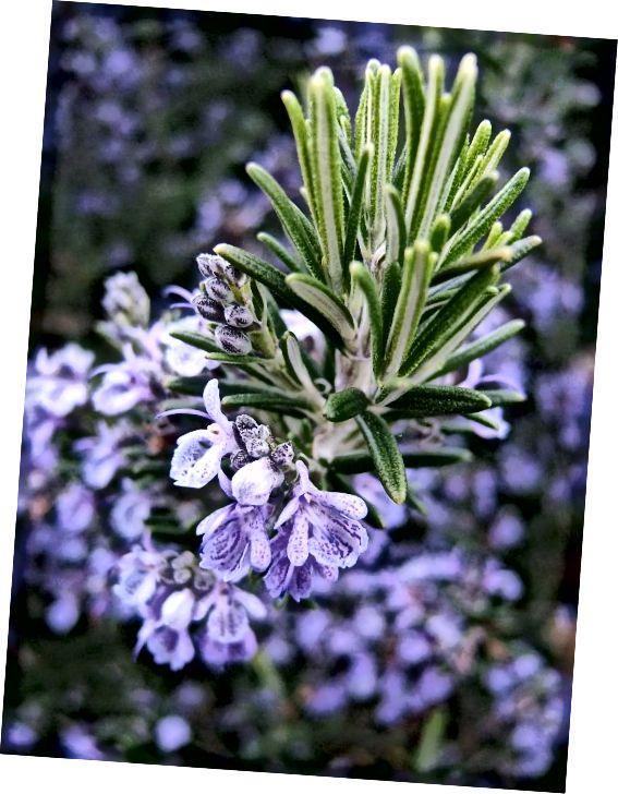 फूलों की मेंहदी, जो टकसाल परिवार का एक सदस्य है।