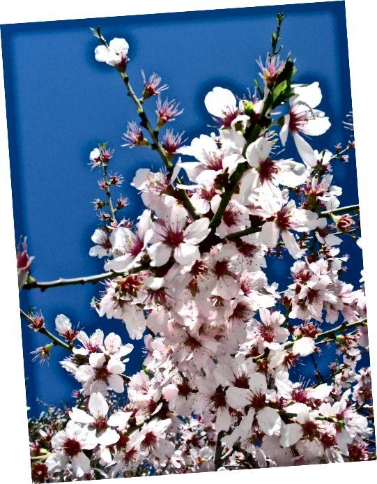 Hoa của cây hạnh nhân ngọt ngào