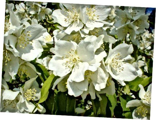 Το γιασεμί χρησιμοποιείται συχνά σε αρώματα, αιθέρια έλαια, τσάγια και καλλυντικά.