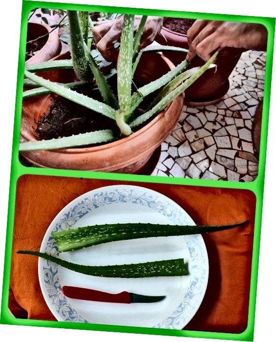 एक तेज चाकू का उपयोग करके, प्रत्येक चुने हुए पत्ते को पौधे से नीचे एक इंच ऊपर काट दें।