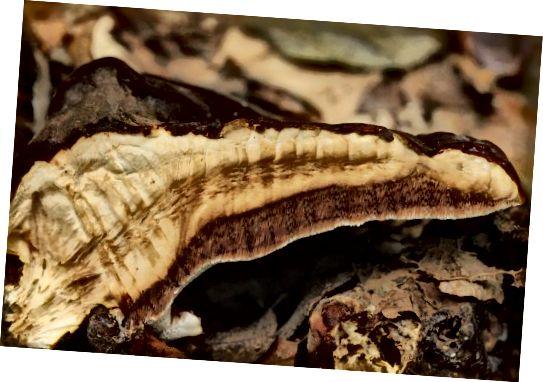 Кажуть, що гриби рейши повертають волосся первісний колір.