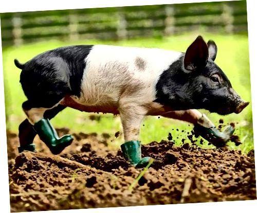 यहां तक कि सूअरों के कुएं में बहुत अच्छे लगते हैं! Soooooo प्यारा!
