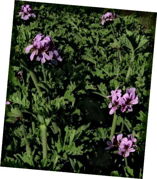 Rose Geranium (Pelargonium graveolens) jeden z deseti druhů pelargónie vhodný pro výrobu éterického oleje.