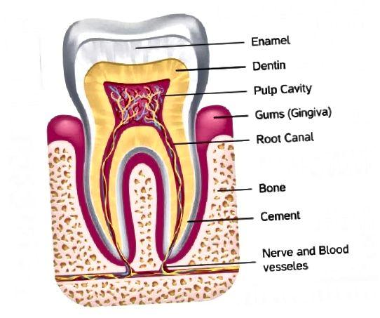 آناتومی دندان انسان نشان می دهد چگونه لثه و مینا از اعصاب حساس محافظت می کنند.