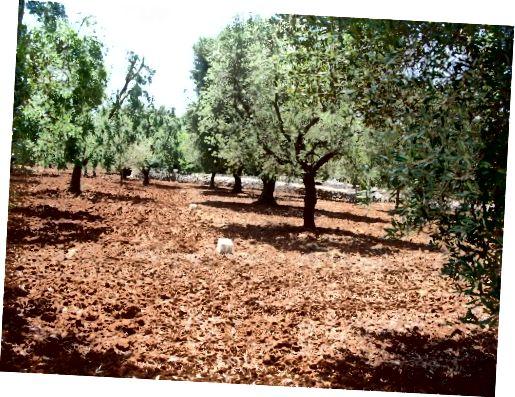 درختان زیتون ما در ایتالیا. توانایی رشد زیتون های خود برای محصولات مراقبت از پوست یک مزیت است.