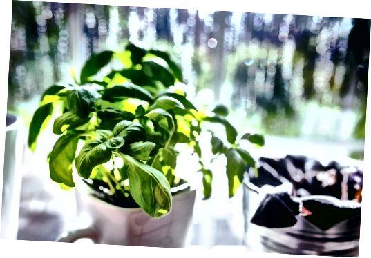 Рідини з листя базиліка, змішані з соком лайма, можна нанести на шкіру для більш справедливого кольору.