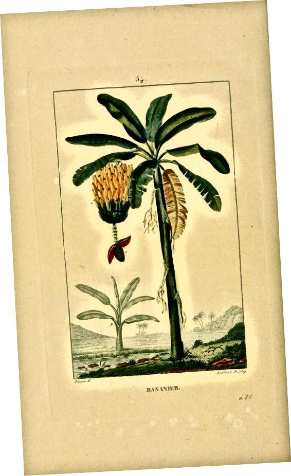 Chaumeton, François-Pierre, 1775-1819; Chamberet, Jean-Baptiste-Joseph-Anne-César Tyrbas de, 1779-1870; Պոիրեթ, Ժան Լուի Մարի, 1755-1834 (Flore médicale (1833)) [Հասարակական տիրույթ] ՝ Վիքիմեդիայի Կոմունիստների միջոցով