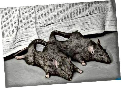 यदि आप मृत चूहों को अपने पैरों पर रखना चाहते हैं, तो यह आपका खुद का व्यवसाय है। लेकिन कुछ लोग सोच सकते हैं कि आप विक्षिप्त हैं।