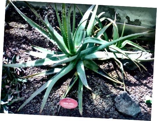 Aloe vera kann einfach doheem an engem Gaart oder an engem Dëppe wuessen.