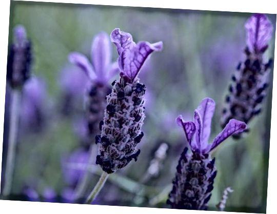 Lavendel huet natierlech Heelungs- a Killmëttel.