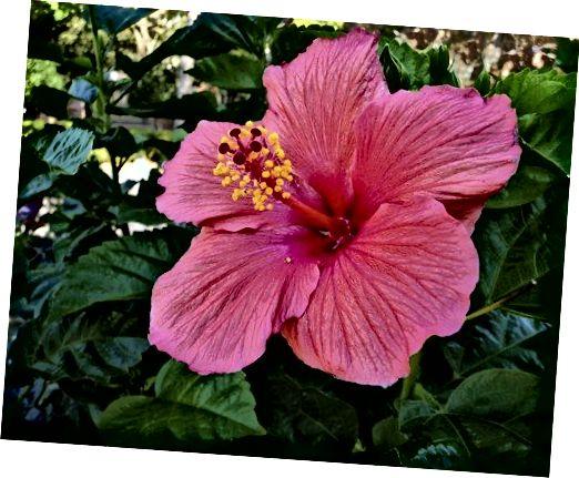 இளஞ்சிவப்பு ஒளி வண்ண மலர்கள் கொண்ட ஒரு செடி