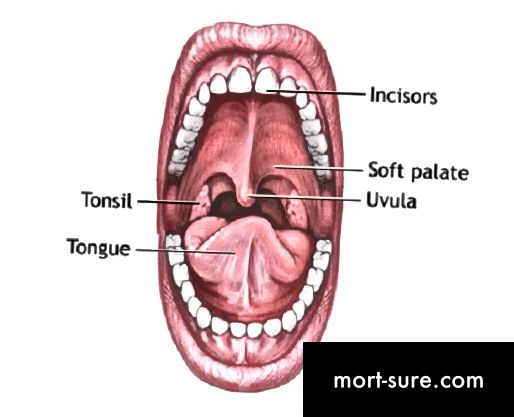 Uvula va epiglottis o'rtasidagi farq