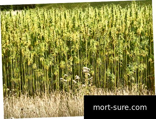 640px-Hemp_Crop_in_Peasenhall_Road, _Walpole _-_ographic.org.uk _-_ 1470339