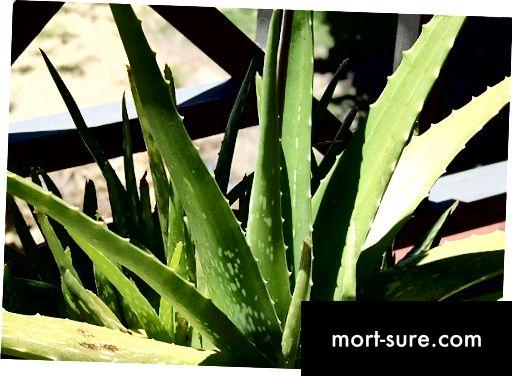 Aloe- ի և Aloe Vera-1- ի միջև տարբերությունը