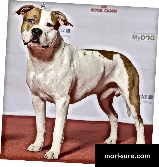 الفرق بين Pitbulls و American Staffordshire Terrier-1
