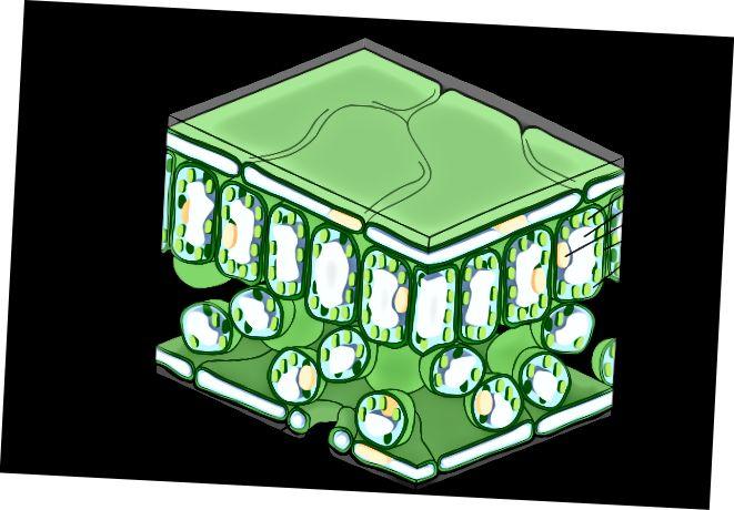 Aizsardzības šūna vs epidermas šūna