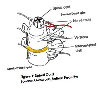 Разлика между гръбначния мозък и гръбначния стълб