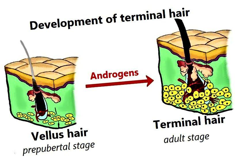 Разлика между терминалната коса и косата Vellus