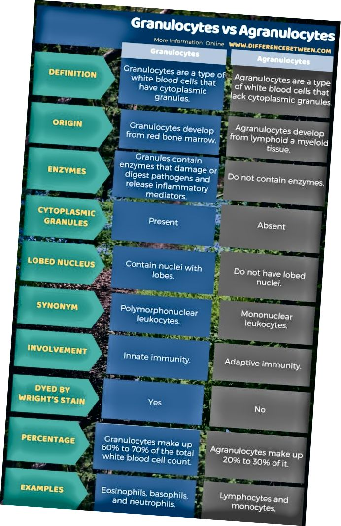 Atšķirība starp granulocītiem un agranulocītiem tabulas formā