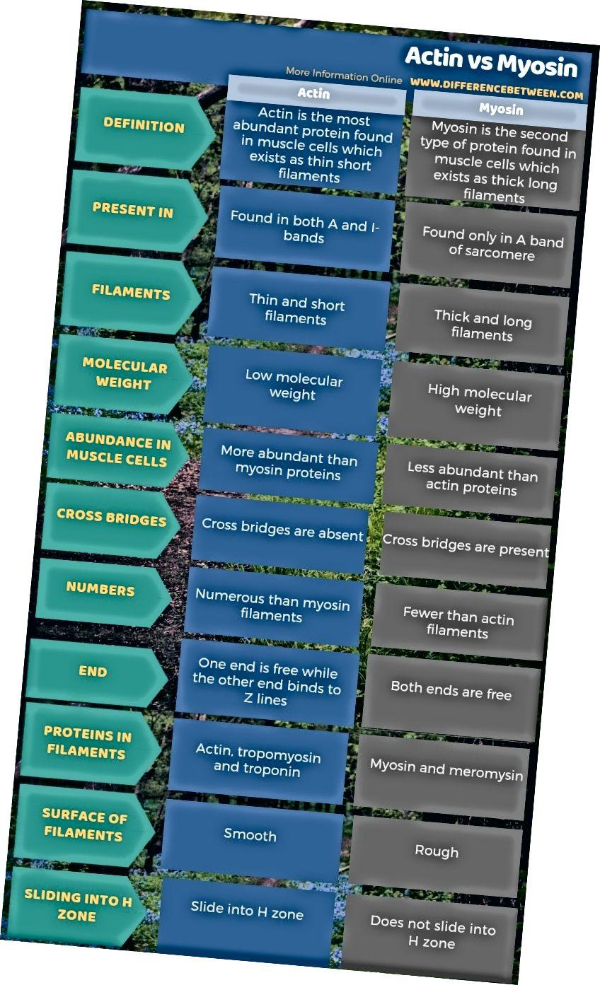 Atšķirība starp aktīnu un miozīnu - tabulas forma
