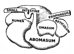 Alimentär Kanal vun Herbivoren vs Karnivoren