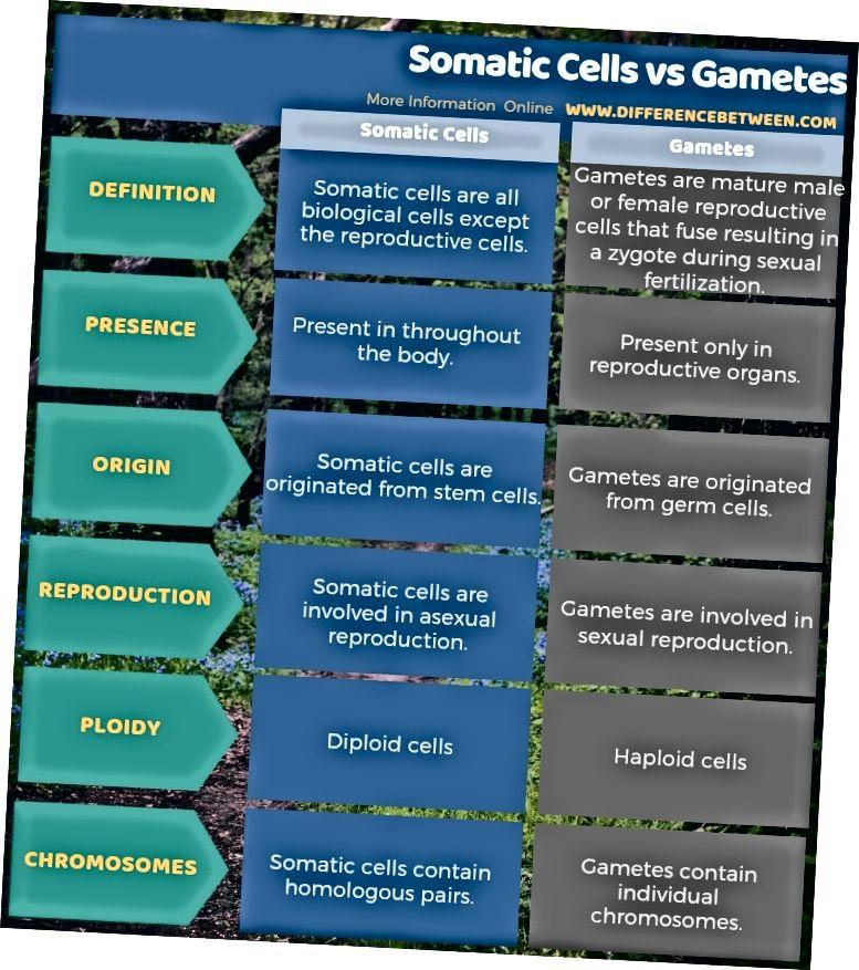 Somaatiliste rakkude ja sugurakkude erinevus tabelina