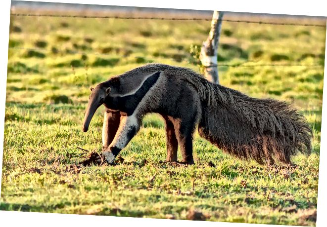 ההבדל בין Aardvarks and Anteaters
