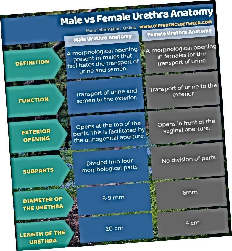 Разлика между анатомията на уретрата при мъжете и жените в таблична форма