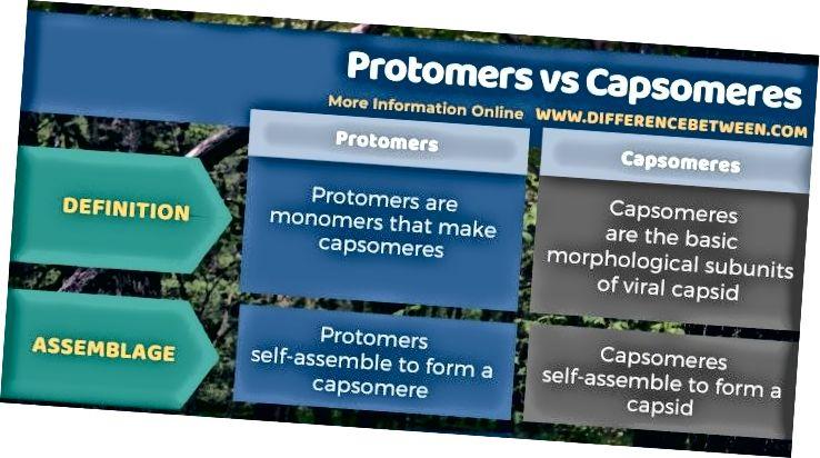 Jadval shaklida protomerlar va kapsomerlar o'rtasidagi farq