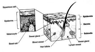 Διαφορά μεταξύ βασικών κυττάρων και κυττάρων σκουμών