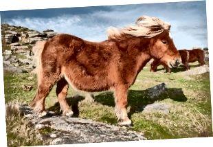 Atšķirība starp zirgu un poniju