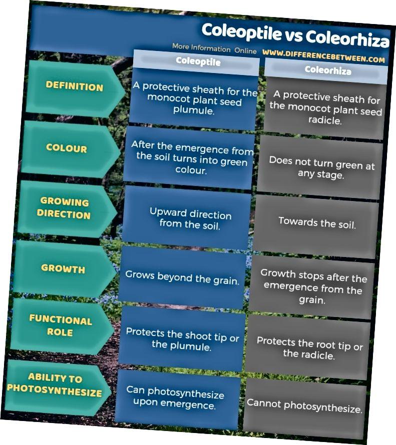 الفرق بين Coleoptile و Coleorhiza في شكل جدول