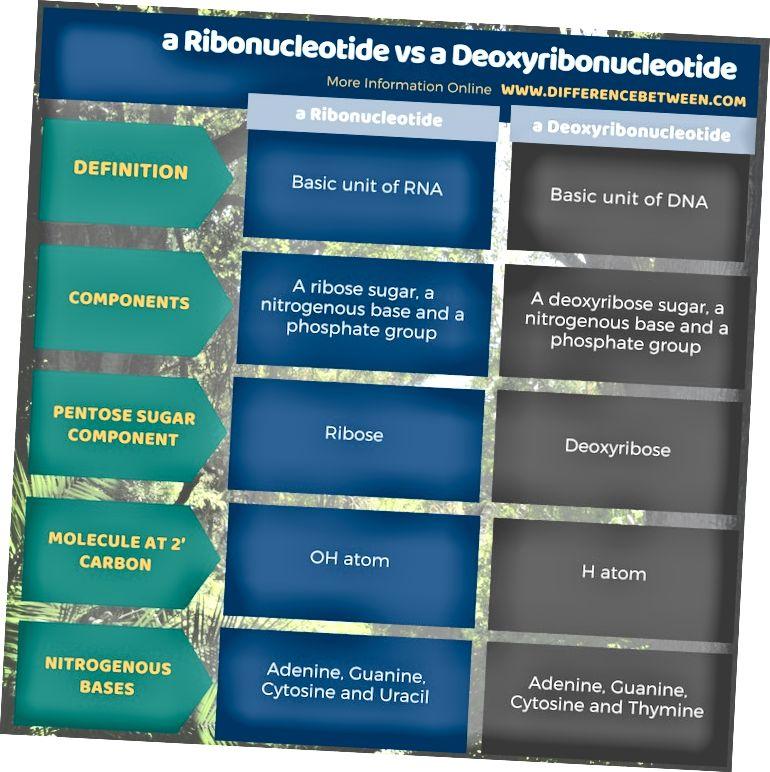 एक राइबोन्यूक्लियोटाइड और टैब्यूलर फॉर्म में एक डीऑक्सीराइबोन्यूक्लियोटाइड के बीच अंतर