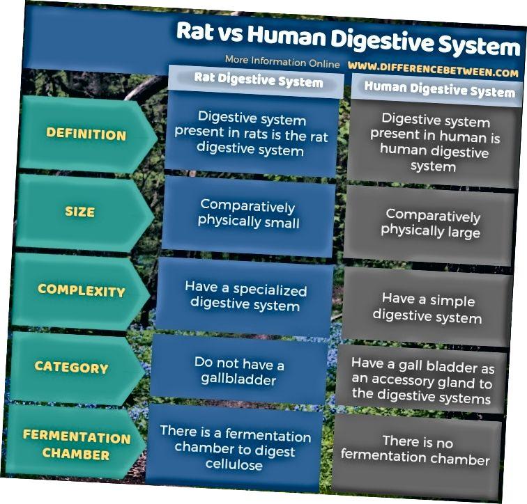 Verschil tussen rat en menselijk spijsverteringsstelsel - tabelvorm