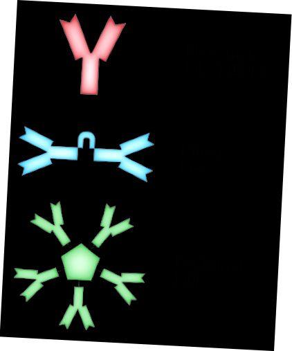 Immunoglobulin va antikor o'rtasidagi farq