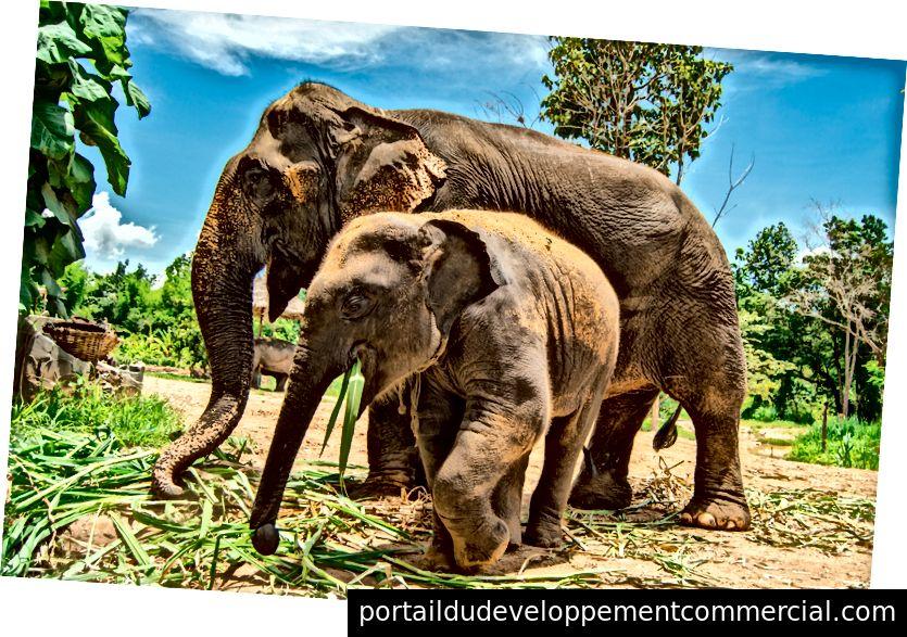 40 साल की मादा श्रीलंकाई हाथी 2 साल के भारतीय हाथी के साथ घास खाती है। एशियाई हाथियों की 4 मान्यता प्राप्त उप-प्रजातियां हैं; भारतीय (मुख्य भूमि से), श्रीलंका और दो इंडोनेशियाई (सुमात्रा और बोर्नियो के द्वीपों से)। एशियाई हाथी अफ्रीकी हाथियों के साथ संभोग नहीं कर सकते क्योंकि वे एक अलग पीढ़ी के हैं। फोटो साभार: आयदिन अदनान