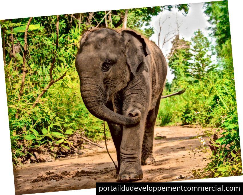 SMR में एकमात्र बच्चा हाथी, जो 2 से ढाई साल की उम्र का है, जो सूखे हुए नदी से गुजरता है। वह पूर्ववत और / या उसे हटाने के प्रयास में लगातार अपनी गर्दन के चारों ओर रस्सी से रस्सा खींचता था। पर्यटकों को बताया गया कि रस्सियों से हाथियों को मार्गदर्शन करने में मदद मिलती है, लेकिन मुझे डर है कि उन्हें रात में बांधने के लिए इस्तेमाल किया गया था। फोटो साभार: आयदिन अदनान