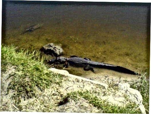Alligaattorin Ja Krokotiilin Ero