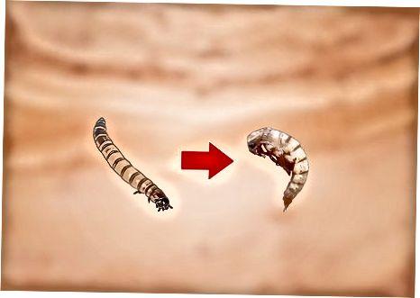 Lupali superwormlar