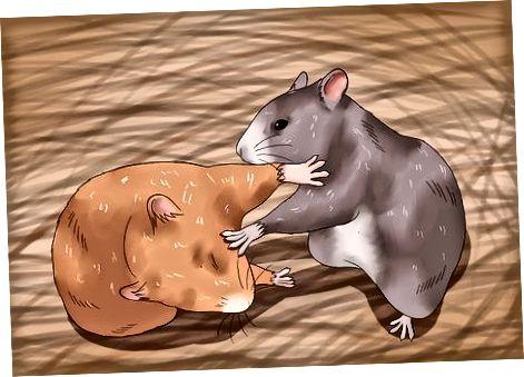 Hamsterlar nima uchun kurashayotganini tushunish