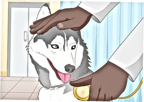Urish uchun mos huskies tanlash