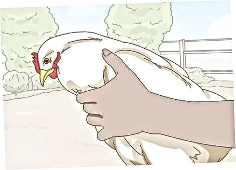 एक चिकन उठा रहा है