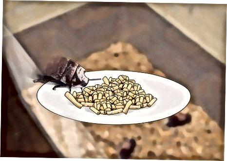 Hamamböceğinize g'amxo'rlik qilish